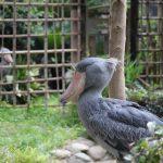 上野動物園の動かない鳥、ハシビロコウ