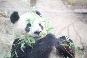 上野動物園のパンダシンシン