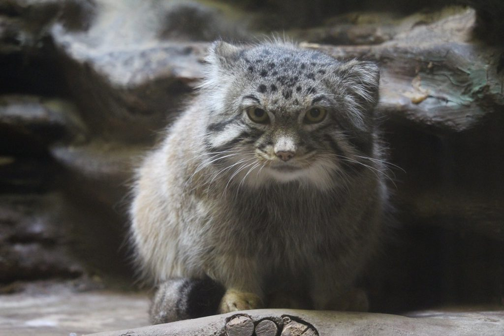 上野動物園の西園にいるマヌルネコ