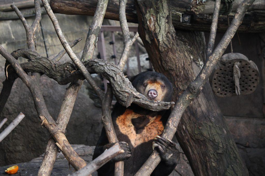 上動物園のマレーグマ