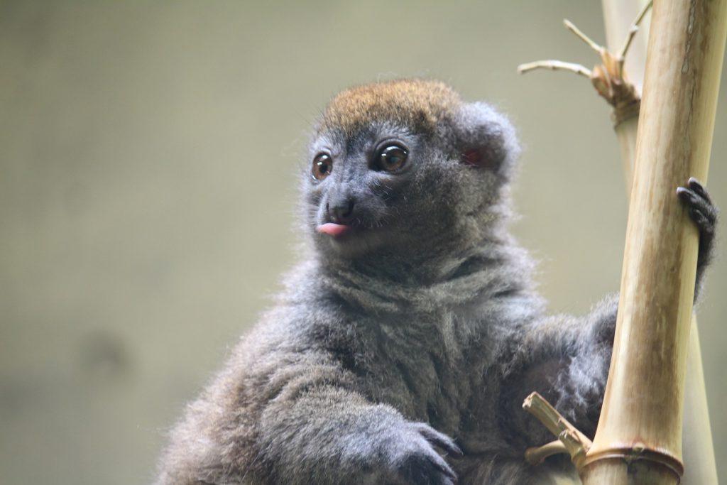 上野動物園、アイアイの森にいるハイイロジェントルキツネザル