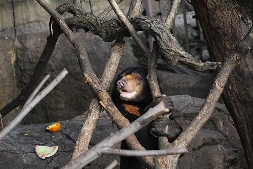 上野動物園マレーグマ