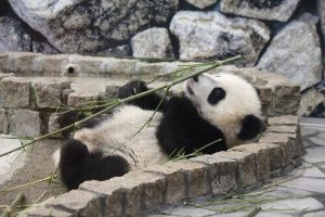 パンダの赤ちゃん