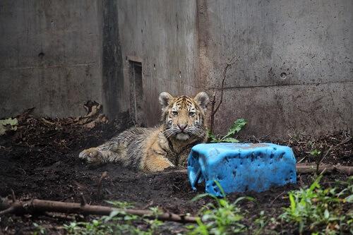 旭山動物園 トラ