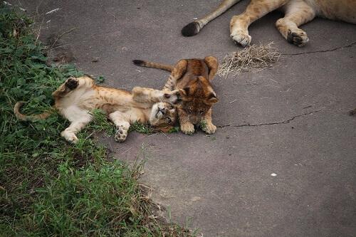 ライオンの赤ちゃん 多摩動物公園
