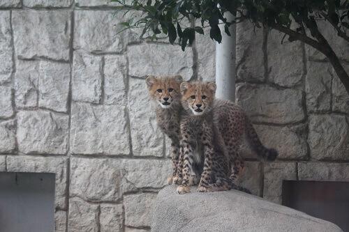チーターの赤ちゃん 多摩動物公園