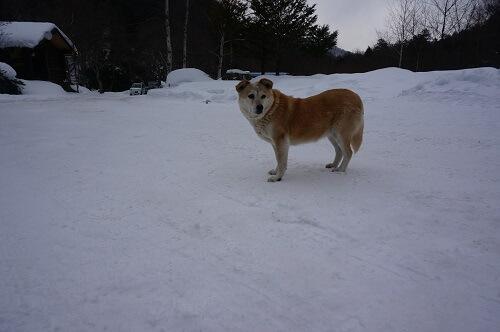 八丁の湯の犬