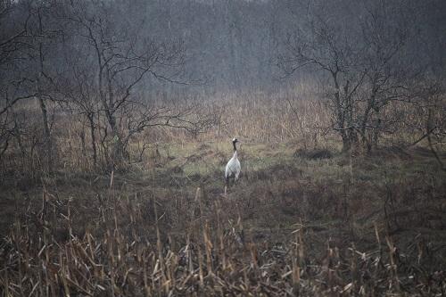 日本の野生動物 丹頂鶴