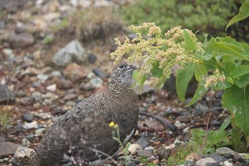 日本の野生動物 雷鳥