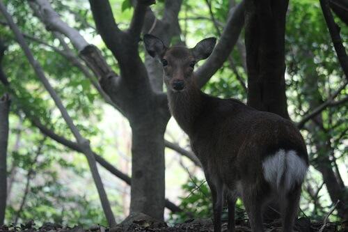 日本の野生動物 ヤクシカ