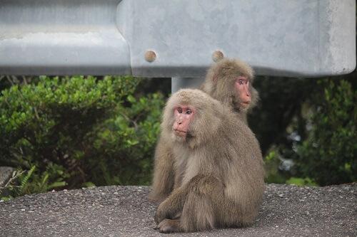 日本の野生動物 ヤクザル