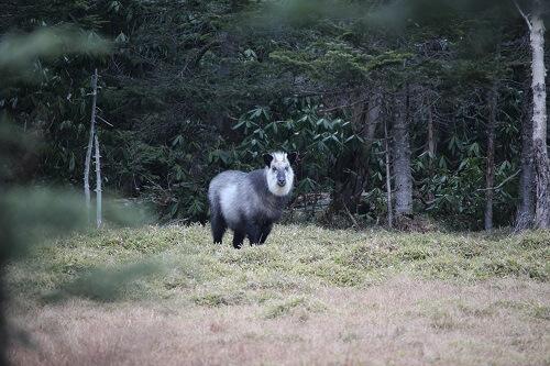 日本の野生動物 ニホンカモシカ