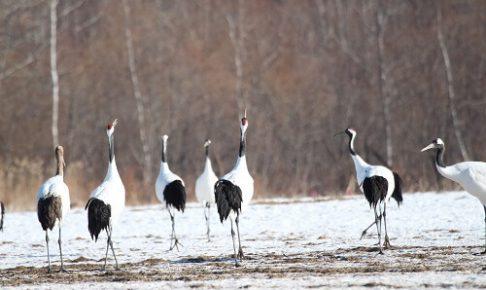 日本の野生動物 阿寒国際鶴センター