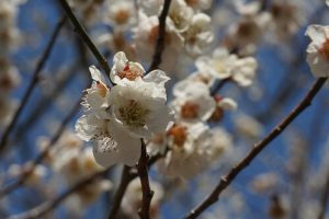 筑波山梅林・梅の花